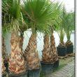 Washingtonia filiféra, télálló pálma, yukka, agave II. kerület - Mediterrán növények kertészete